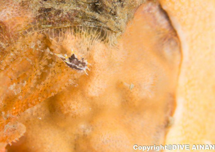 クロコソデウミウシ